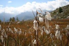 Eriophorum in mountain peat bog Royalty Free Stock Image
