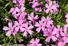 Mountain phlox Royalty Free Stock Images