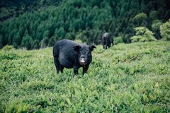 Mountain pig royalty free stock images