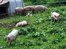 Mountain pig farm at the foot of Alpstein mountain range. Canton of St. Gallen, Switzerland royalty free stock photography
