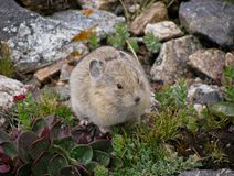 Mountain Pika Stock Image