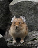 Mountain pika Royalty Free Stock Images
