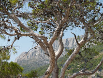 Mountain pine. Pine tree against blue sky and mountains Stock Photo