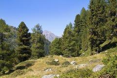 Mountain pine Royalty Free Stock Photo