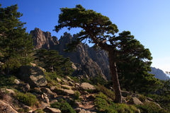 Mountain pine Stock Image
