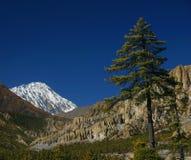 Mountain pine. Nepal, Annapurna trek Stock Photos