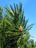 Mountain pine. Spring mountain pine.canon g5 Stock Photo