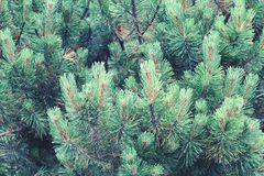 Mountain pine as a full frame natural background. stock photography