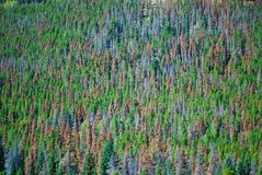 Mountain Pine Beetle Damage Royalty Free Stock Images