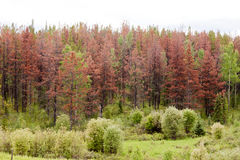 Mountain Pine Beetle killed pine forest Royalty Free Stock Image
