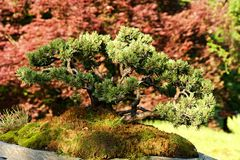 Mountain pine bonsai Stock Image