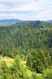 Mountain pine forest Stock Photos