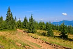 Mountain pine forest Royalty Free Stock Photos