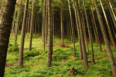 Mountain pine forest Royalty Free Stock Photography