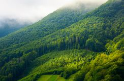 Mountain forest in morning fog. Mountain pine forest and glade in the morning fog and sunrise light Royalty Free Stock Photography