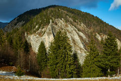 Mountain pine forests Royalty Free Stock Image