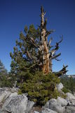 Mountain pine Royalty Free Stock Photo