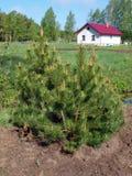 Mountain pine (Pinus mugo) Royalty Free Stock Photography