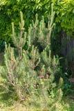 Mountain pine (Pinus mugo). Royalty Free Stock Photos