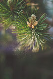 Mountain pine pollen Royalty Free Stock Photos