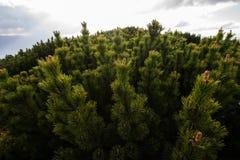 Mountain pine reserve - Maramures, Romania. Mountain pine reserve, Ciungii Balasini,Maramures,Romania Stock Photos