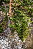 Mountain pine tree in autumn season, Tatry Mountains, Poland Stock Photo