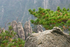 Mountain Pines. Pine shrubs on a rocky mountain Royalty Free Stock Photo
