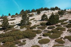 Mountain pines in Mont Ventoux. Mountain pine in Mont Ventoux, Provence in south of France. Pinus uncinata Royalty Free Stock Photo