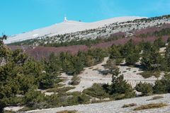 Mountain pines in Mont Ventoux. Mountain pine in Mont Ventoux, Provence in south of France. Pinus uncinata Royalty Free Stock Image