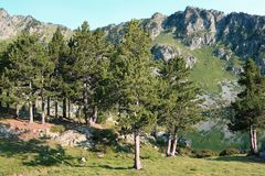 Mountain pines in Pyrenees Royalty Free Stock Photos