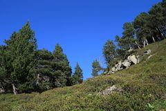 Mountain pines in Pyrenees Royalty Free Stock Images