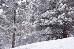 Mountain Pines During a Snowstorm Royalty Free Stock Photography