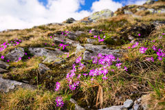 Mountain pink flowers, Primula Minima Royalty Free Stock Photography