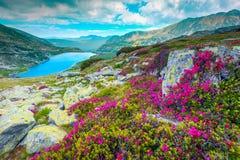 Free Mountain Pink Rhododendron Flowers And Bucura Lake, Retezat Mountains, Romania Stock Photo - 148800980