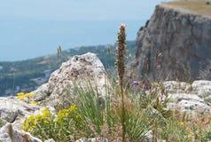 Mountain  plant Crimean asfodelina Stock Photos