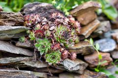The mountain plant among the stones royalty free stock photos