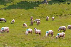 Mountain plateau friendly herd of sheep stock photo