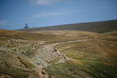 Mountain plateau with sheep heard Royalty Free Stock Photography