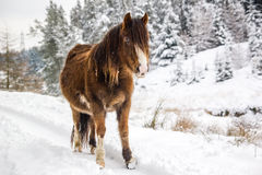 Mountain pony in the snow. A mountain pony stands in front of snow covered trees stock images