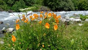 Mountain poppies on the banks of the turbulent river 4 royalty free stock photography