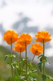 Mountain poppy. Mountain poppies with snow in the background Royalty Free Stock Photos