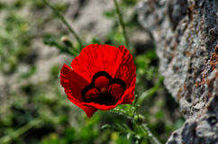 Mountain poppy. Beautiful red poppy growing in the mountains Royalty Free Stock Photos