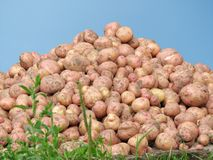 Mountain of a potato Stock Images