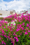 Mountain pride flowers in Bloom Stock Image