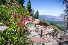 Mountain pride Penstemon newberryi wildflowers growing on the side of a hiking trail, Siskiyou County, Northern California royalty free stock image