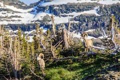 Mountain ram in Glacier National Park, Montana USA Royalty Free Stock Photography