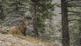 Mountain Ram Royalty Free Stock Photography