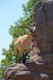 Mountain Ram. Standing on a rocky mountain cliff stock image