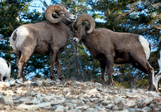 Mountain Rams Royalty Free Stock Photo