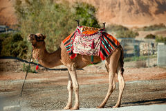 Mountain range, bush and camel in Negev desert, Israel Royalty Free Stock Images